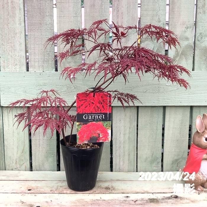春と秋に紅葉(こうよう)する枝垂れモミジ 美しい樹形 ガーネット 3.5号