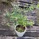 ブルーベリー2品種栽培セット(ラビットアイ系2株+10号鉢+専用培養土)