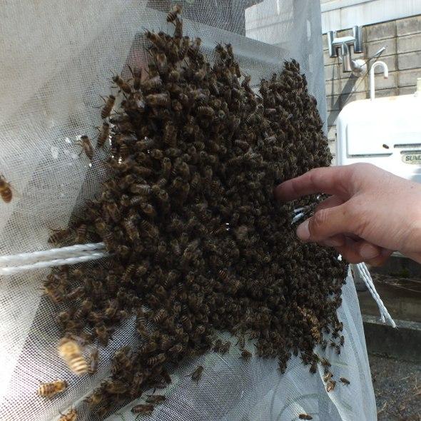 日本ミツバチの分蜂に、まだ間に合います! デボニアナム (ミツバチ蘭) ほぼ満開でお届け