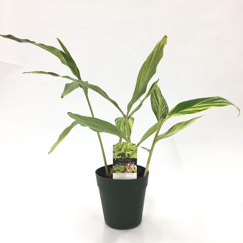 美しい葉なのに、ゴキブリ除けにもなる! シェルジンジャー (黄斑月桃) 5号苗