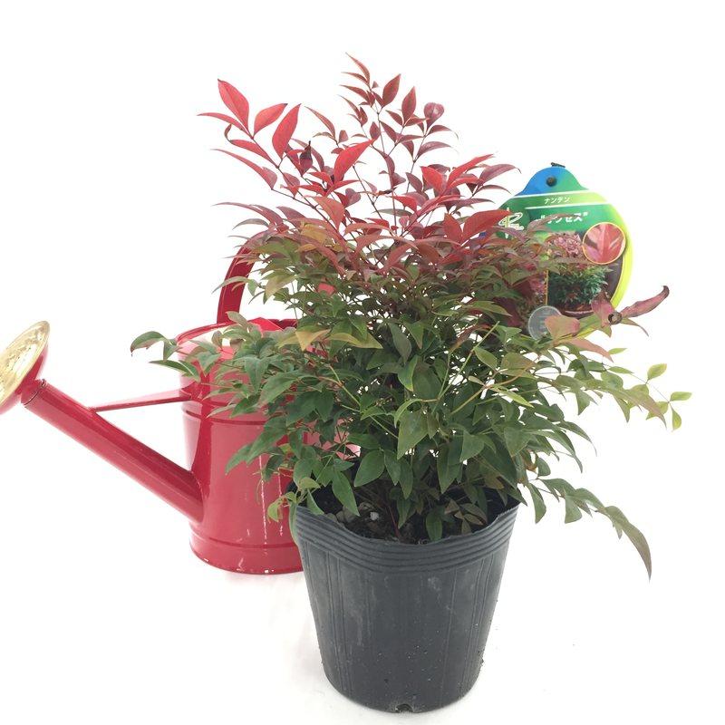 紅葉を楽しむ! ナンテン・オブセス 5号苗 ※お届けに10日程度いただくことがございます。 [SJP]