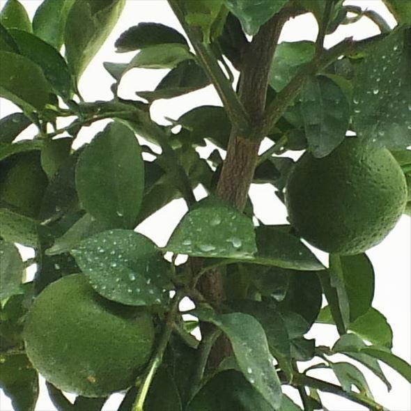 [実付き柑橘] かぼす