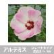 【お買い得!】選べるタイタンビカス 4株セット ※来年開花見込株