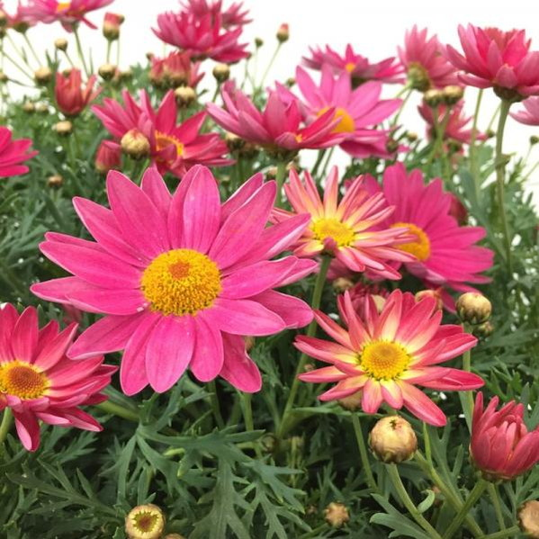 桐生ふぁーむの 色が変わる!マーガレット シンプリーコーラル5鉢セット ※10日ほどかかる場合がございます。 (KI)