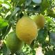 [実付き柑橘] トゲなしレモン