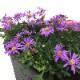 リニューアルオープン記念!10月まで咲く桐生ふぁーむの ブラキカム栽培セット ※お届けまでに10日程度頂戴することがございます。
