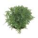 リニューアルオープン記念!桐生ふぁーむの マーガレットモリンバサッシーイエロー栽培セット ※お届けまでに10日程度頂戴することがございます。