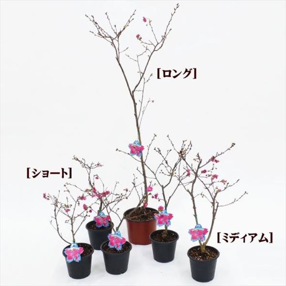 ★ワケアリ 奇跡が咲く!6か月咲き続ける桜  エレガンスみゆき 4号(ショート)