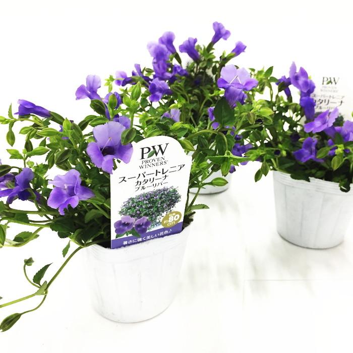 桐生ふぁーむの スーパートレニア カタリーナ ブルーリバー 栽培セット ※お届けまでに10日程度頂戴することがございます。
