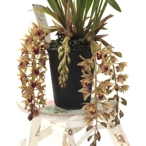 幻のミツバチ蘭 ミスマフェット(赤花系種) 花芽つき確認済み