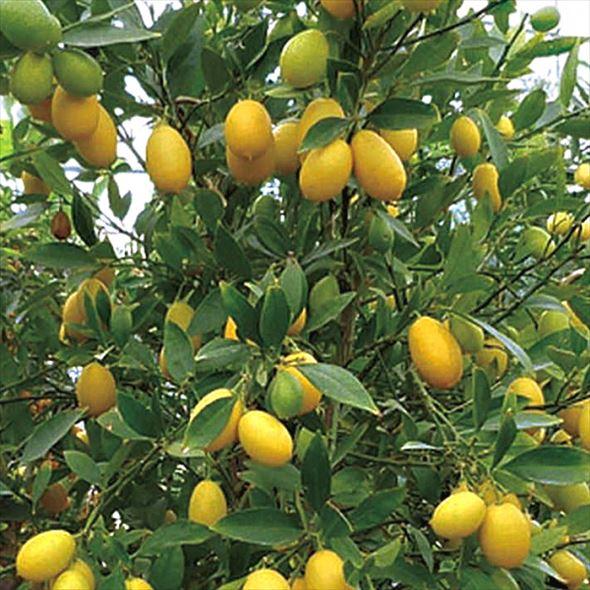 [珍しい果物]ハイブリッド柑橘 キンカンライム