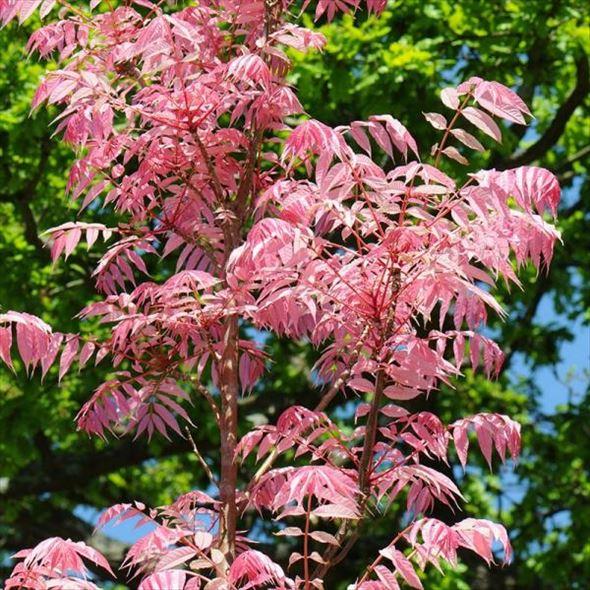 桜と見まごうピンクの新葉 チャンチン フラミンゴ