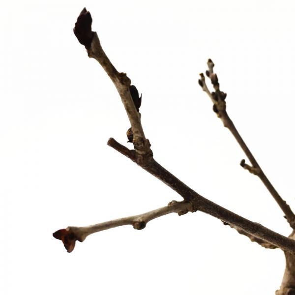 リニューアルオープン記念! たおやかに咲く日本の藤(フジ) 九尺藤 6号ポット苗