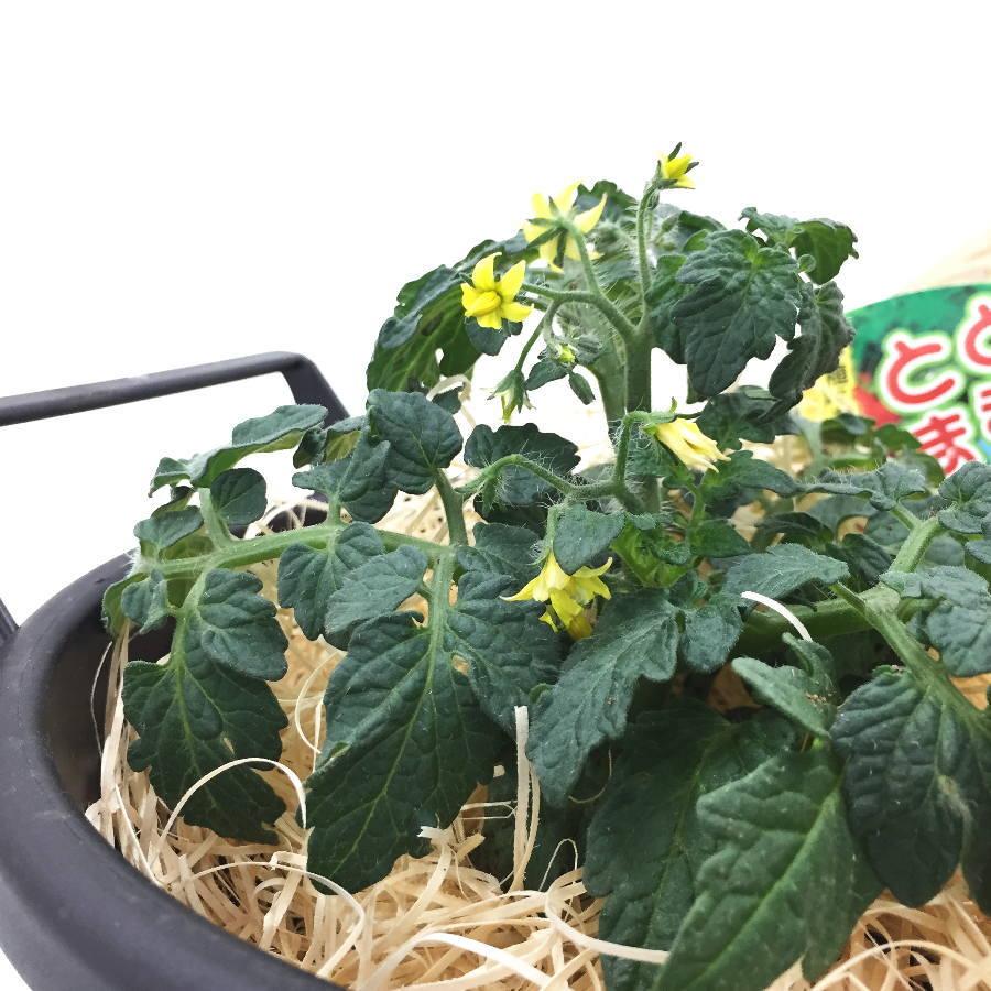 ベランダで気軽に育てられる 背の低いミニトマト とまとま栽培セット (苗2・鉢・土・木綿)