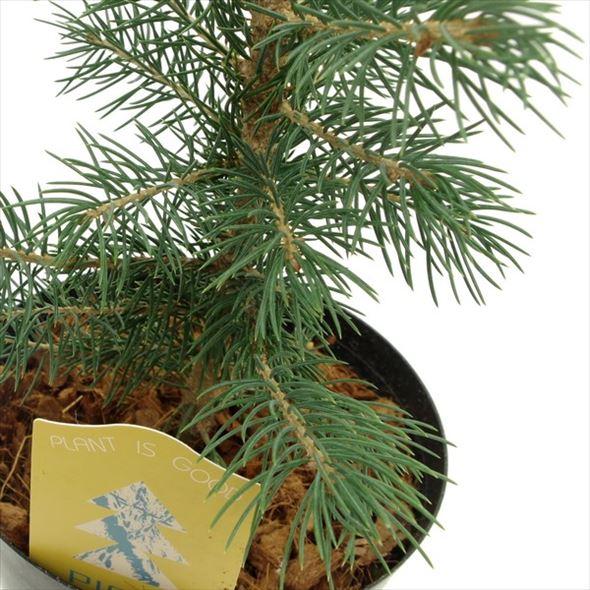 実生で樹形が乱れない ピセア・プンゲンス スーパーブルーシードリング(SBS)