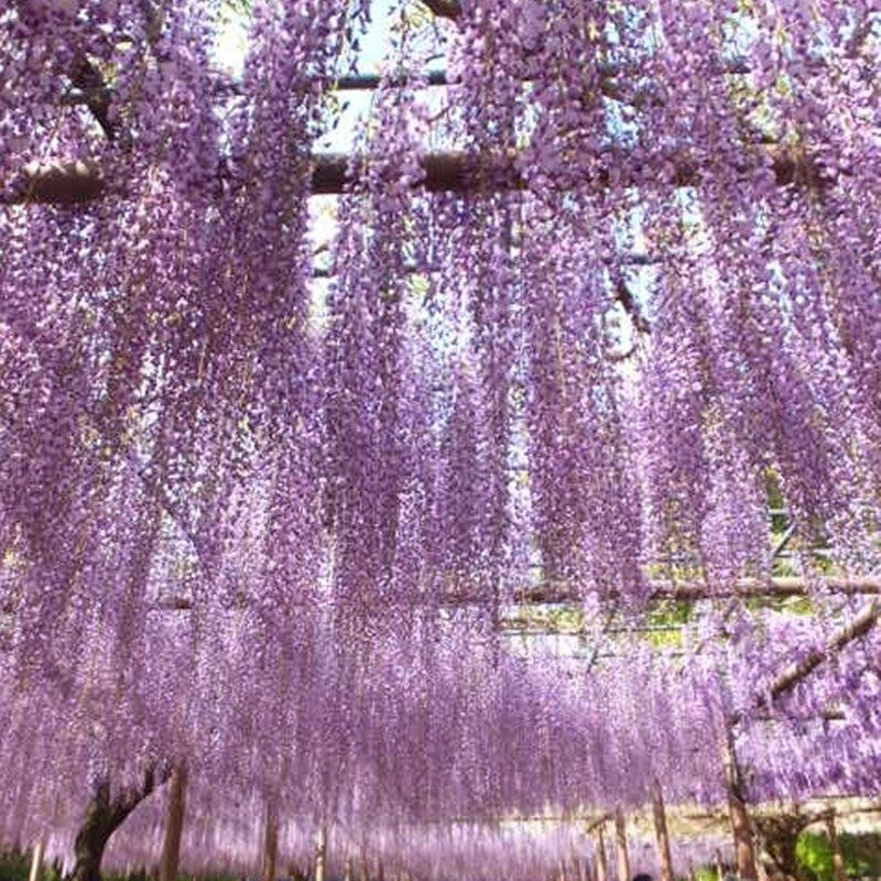 リニューアルオープン記念! たおやかに咲く日本の藤(フジ) 白長藤 6号ポット苗