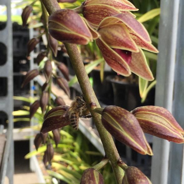 晩生のミツバチラン デボニアナム (ミツバチ蘭) ※来期開花見込み株