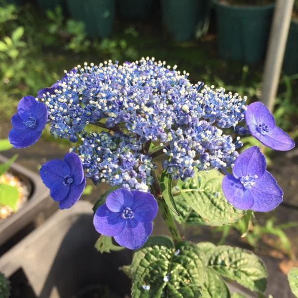 ヤマアジサイ 紫水晶