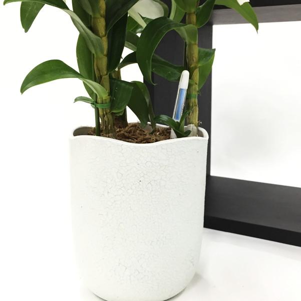 赤塚植物園の特選サマーギフト デンドロビューム サチ 3Fブルー鉢 [SA] ※7月中旬〜8月中旬お届け