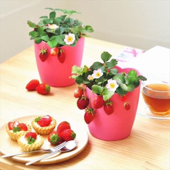 ピンクの花咲く ストロベリー栽培セット Strawberry-bloom pink flowers-