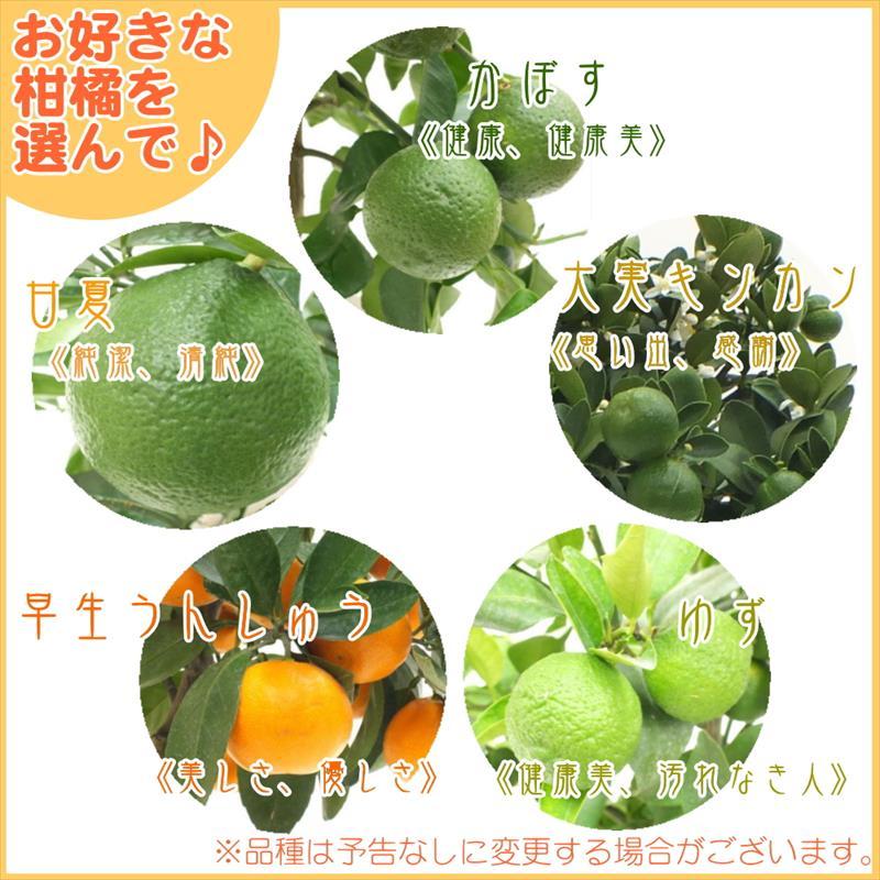[秋ギフト]選べる!実つき柑橘(かんきつ)ギフト