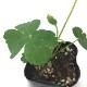 話題の健康植物! 長命草(チョーミーグサ・サクナ・ボタンボウフウ) 3号