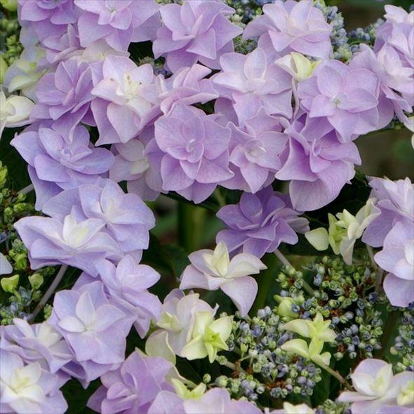 加茂交配 魅惑のガーデンアジサイ コサージュ ※花なしのため特価