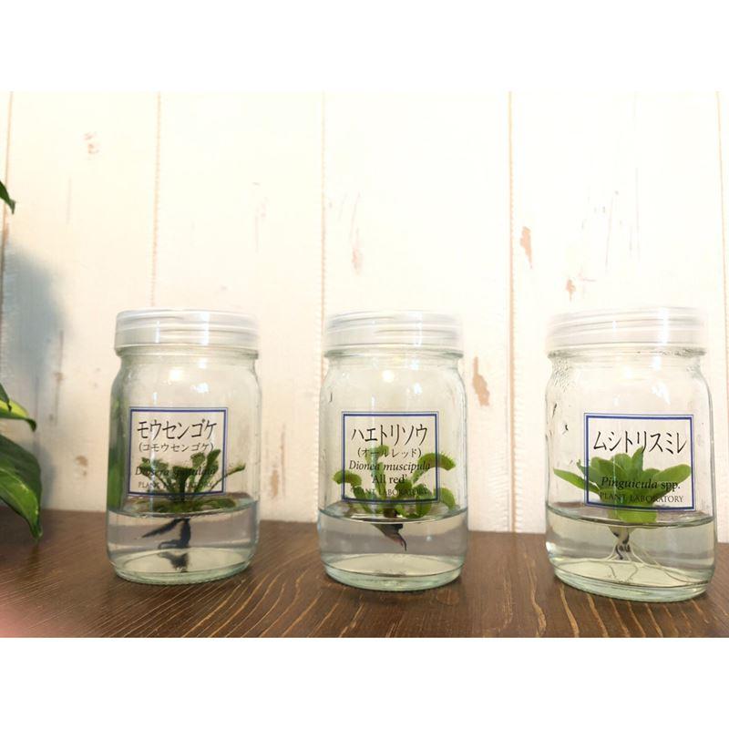 正真正銘ボトルの中の食虫植物!【植物ラボ】  ハエトリソウ(※) :  Dionea muscipula 'All red''※お届けまでに最大10日