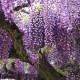 赤塚植物園オリジナル! 藤かおるフレグランスオイル