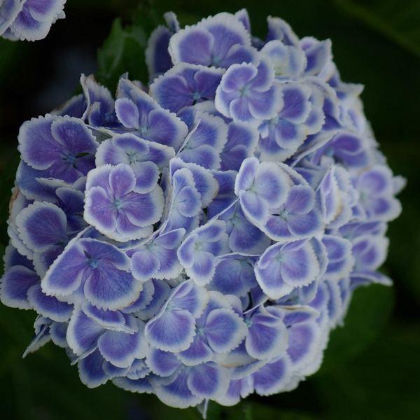 加茂交配 魅惑のガーデンアジサイ モナリザ ※花なしのため特価
