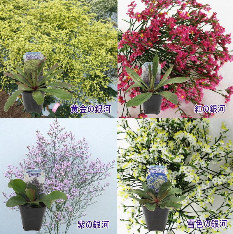 宿根スターチス4色セット! 毎年切り花収穫→すぐドライフラワー [pav]