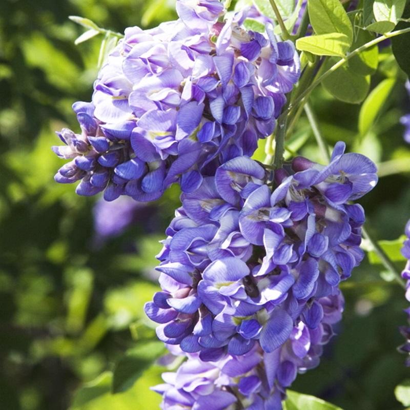花が青くて二回も咲くフジ!二季咲き藤 アメジストフォール 3.5号