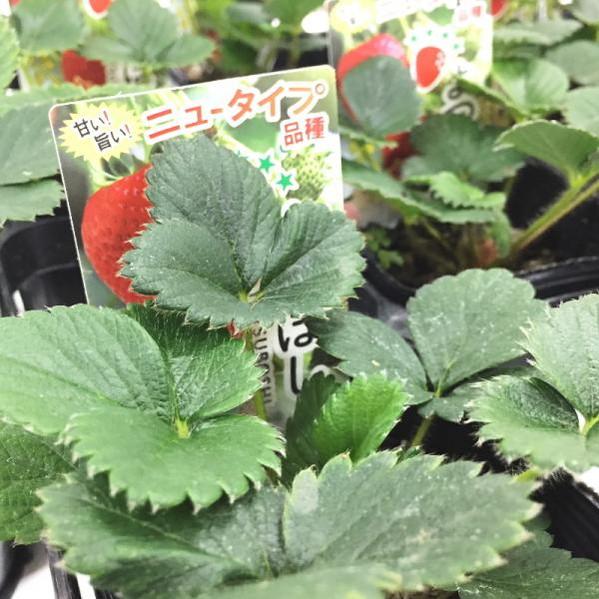 桐生ふぁーむの よつぼしイチゴ苗(四季なり) ※お届けには10日ほどかかることがあります。