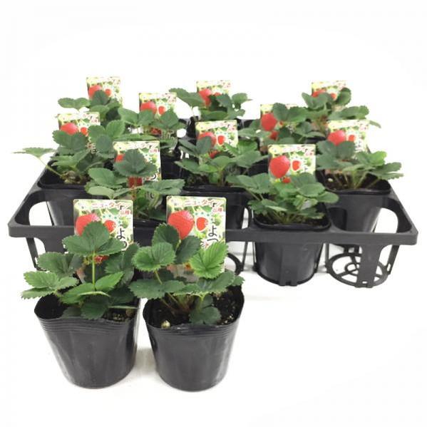 桐生ふぁーむの よつぼしイチゴ苗(四季なり) 12株セット ※10日ほどかかる場合がございます。 (KI)