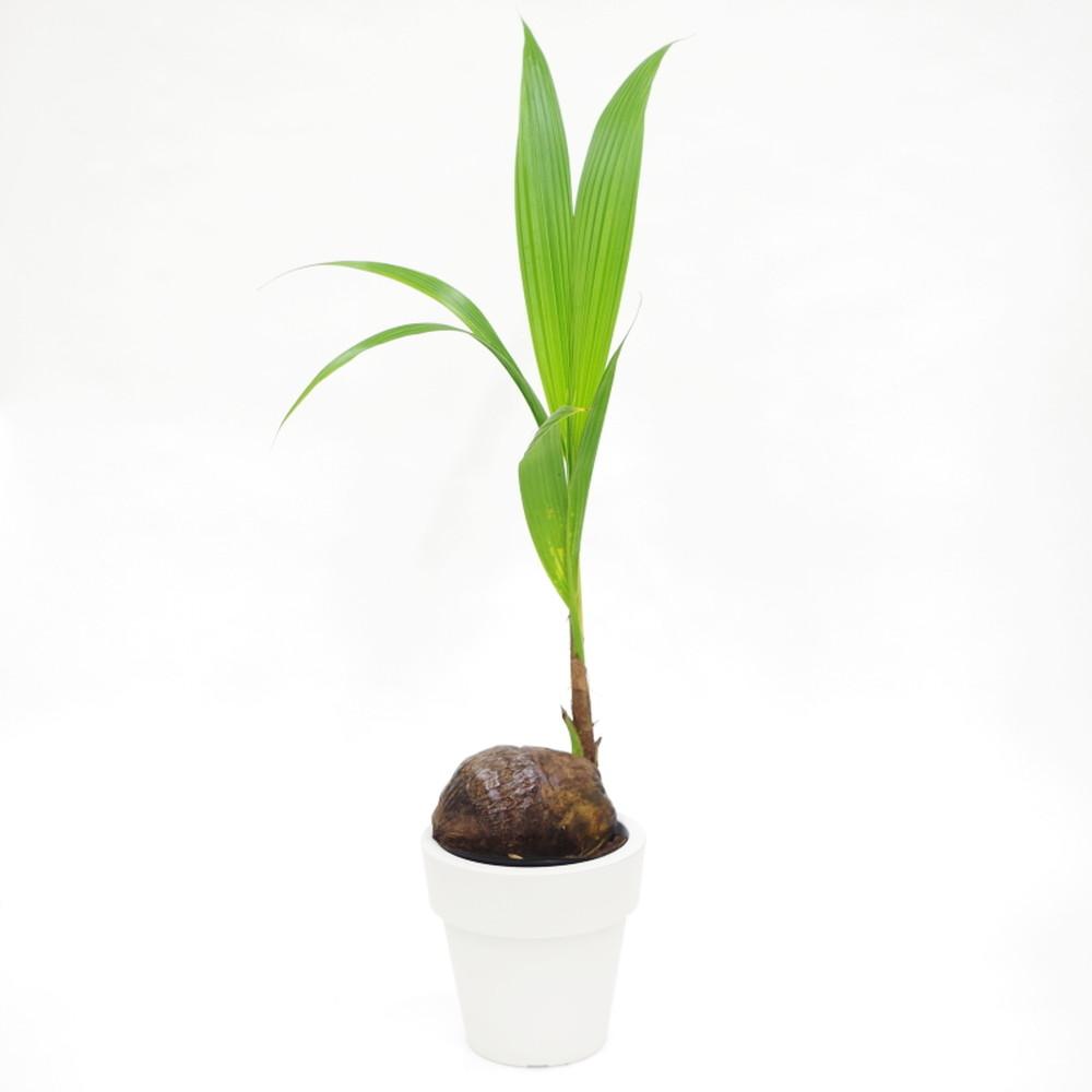 赤塚植物園の特選サマーギフト ココヤシ 6号プラ鉢 ※7月中旬〜8月中旬お届け