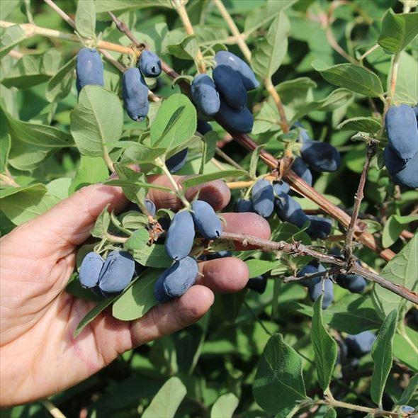 [珍しい果物] ハスカップ ハニーベリー ボレアル ブリザード