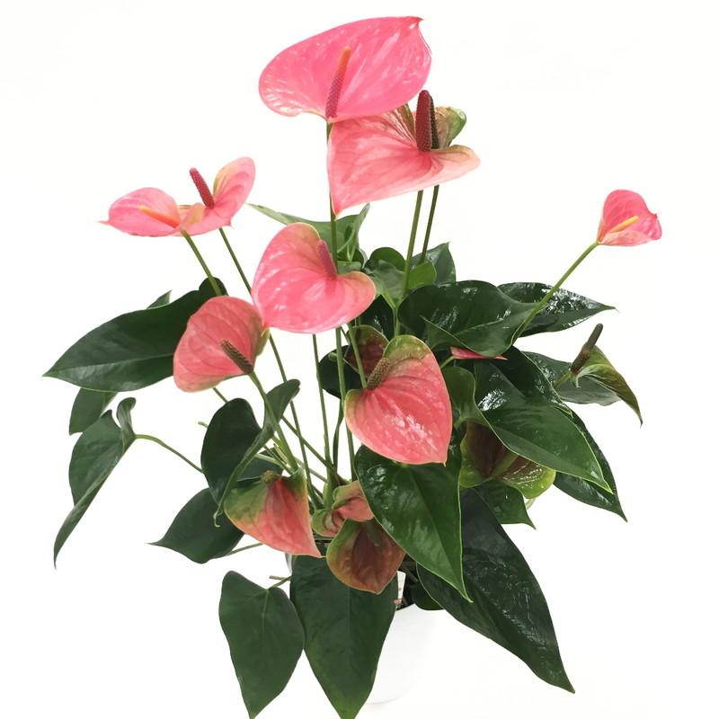 赤塚植物園の特選サマーギフト ハートの花が可愛いアンスリューム ピンク 6号 ※7月中旬〜8月中旬お届け