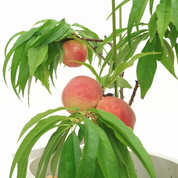 [珍しい果物] 鉢植えで実がなる!矮性桃 みきドワーフ ※10月中旬以降お届け