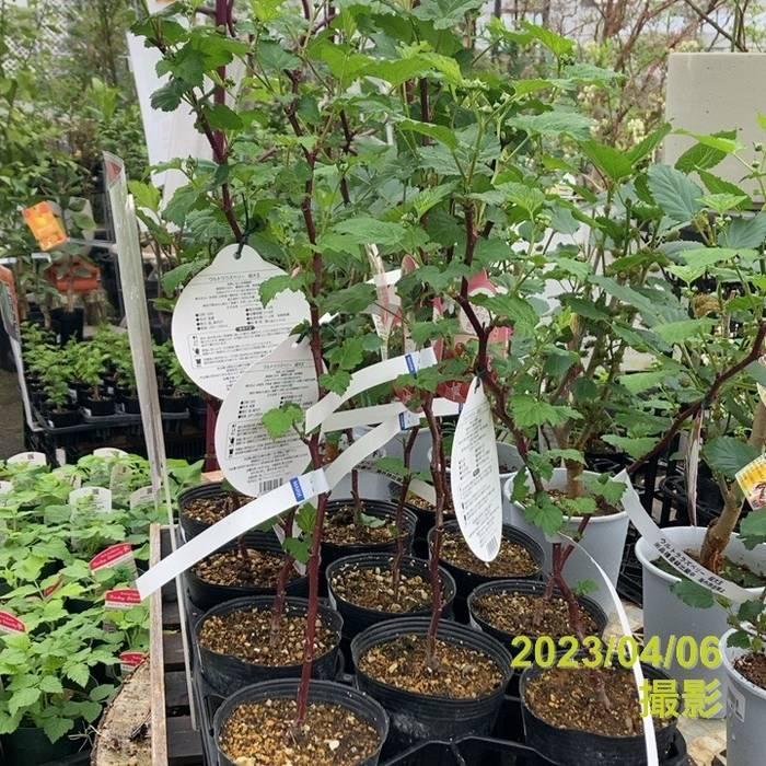 [珍しい果物] ウルトララズベリー 超大王(チョウダイオウ) ※10月中旬以降お届け