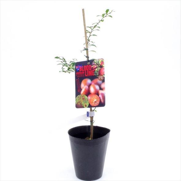 [珍しい果物]ハイブリッド柑橘 オーストラリアン ブラッドライム