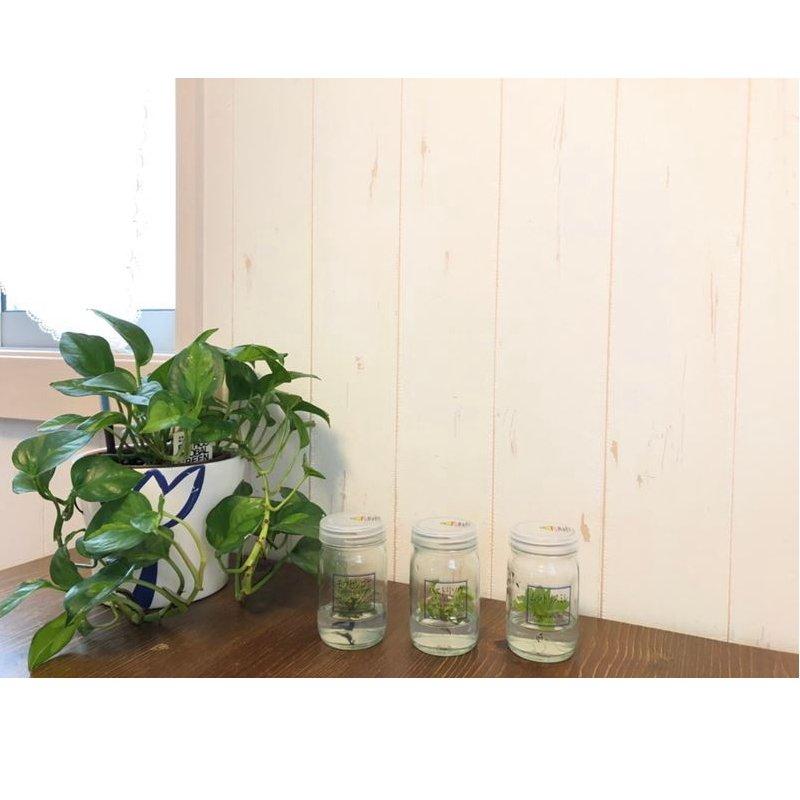 かわいいハロウィンver! ボトルの中の食虫植物!【植物ラボ】  モウセンゴケ : Drosera spatulata※お届けまでに最大10日