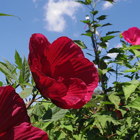 花の音限定品種 タイタンビカス ハデス苗 3.5号 (第二)