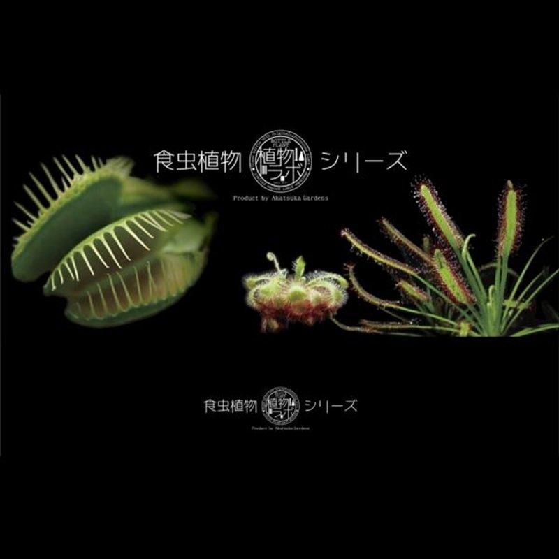 かわいいハロウィンver! ボトルの中の食虫植物!【植物ラボ】  ハエトリソウ(※) :  Dionea muscipula 'All red''※お届けまでに最大10日