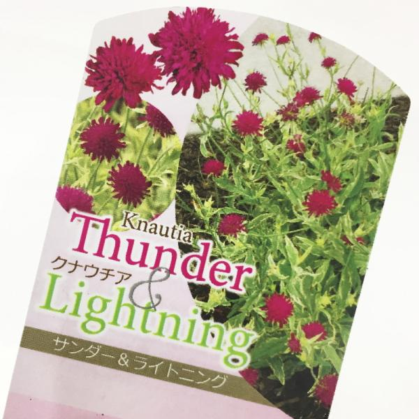 夏の花だけど咲いていない時もキレイ♪ クナウチア サンダー&ライトニング
