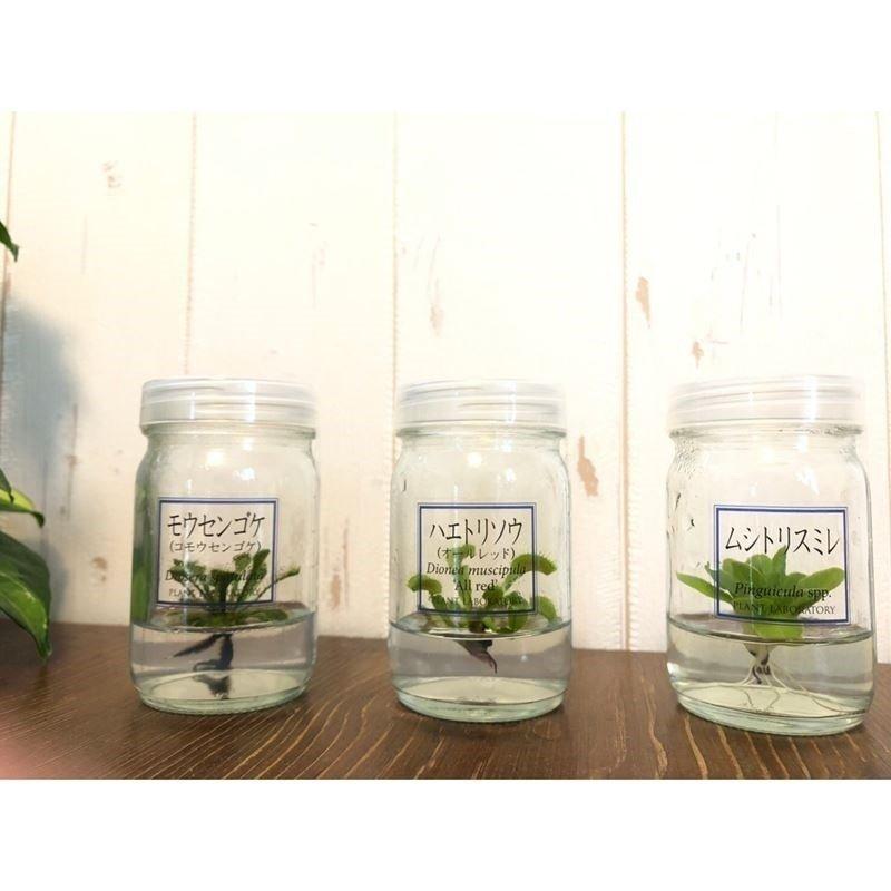 かわいいハロウィンver! ボトルの中の食虫植物!【植物ラボ】 ムシトリスミレ :  Pinguicula spp.  ※お届けまでに最大10日