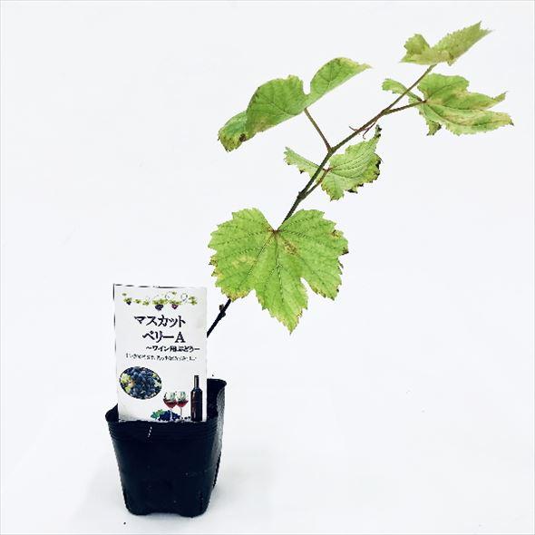 [珍しい果物]ロマンがあふれる! 赤ワイン用 マスカットベリーA