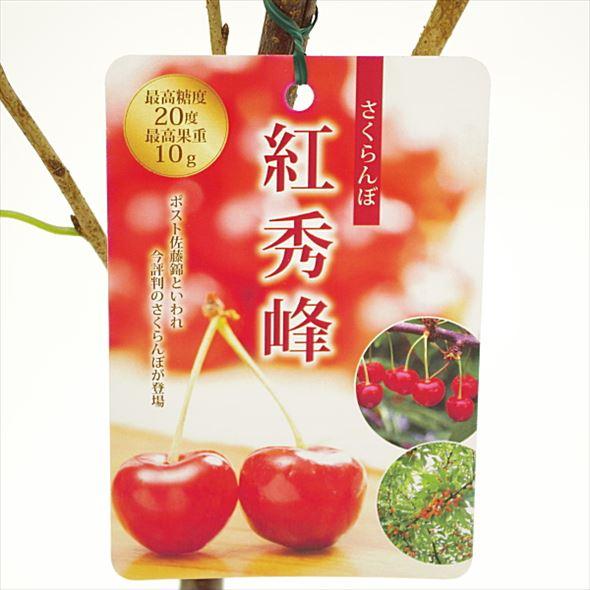 [珍しい果物]大玉さくらんぼ 紅秀峰(べにしゅうほう)