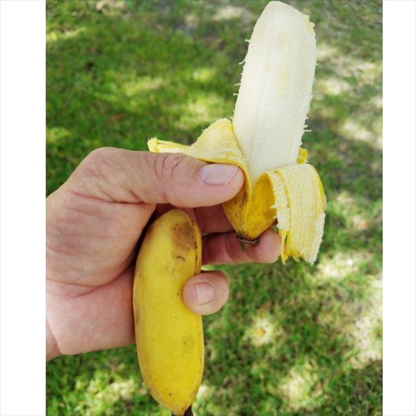 アイスクリームブルーバナナ(苗) ブルーバナナ ※緊急限定入荷・在庫限り