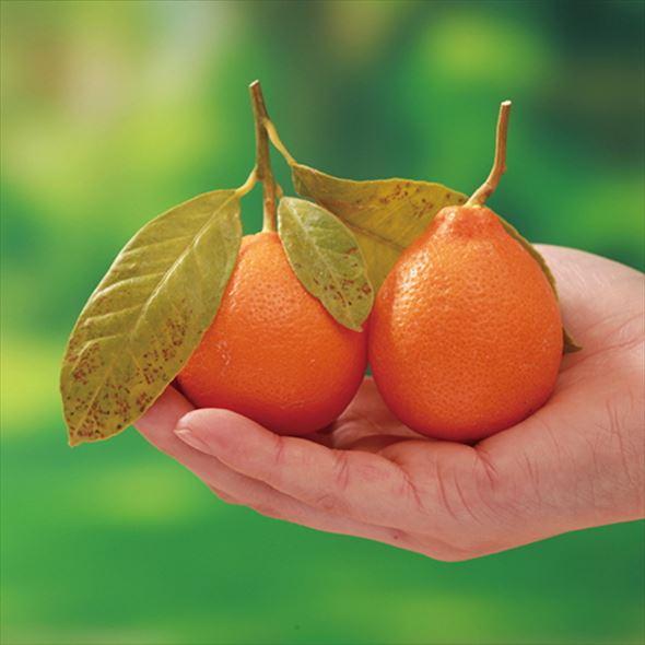 ゴルフボールサイズの赤いレモン 赤ミニレモン 4号