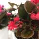 あっという間に直径40cm 桐生ふぁーむの ベゴニアダブレット レッド 栽培セット ※お届けまでに10日程度頂戴することがございます。